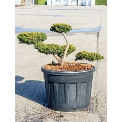 Тисс ягодный summergold бонсай Диаметр горшка — 70 см Высота растения — 110 см