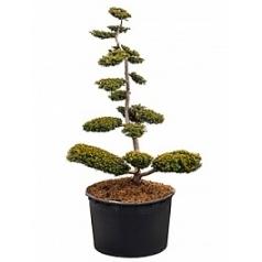 Тисс ягодный summergold бонсай Диаметр горшка — 95 см Высота растения — 240 см