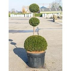 Тисс ягодный trio/шар Диаметр горшка — 70 см Высота растения — 220 см