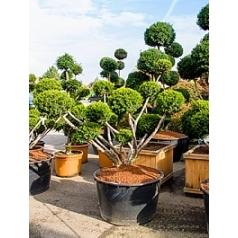 Тис остроконечный farmen multi шар Диаметр горшка — 100 см Высота растения — 220 см