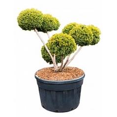 Тис остроконечный rustique multi шар Диаметр горшка — 85 см Высота растения — 165 см