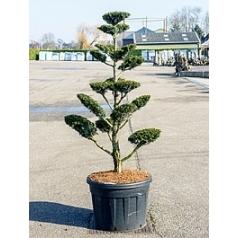 Тисс средний hatfieldii бонсай (220-240) Диаметр горшка — 70 см Высота растения — 230 см
