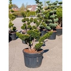 Тисс средний sebian бонсай Диаметр горшка — 70 см Высота растения — 200 см