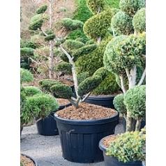 Тисс средний sebian бонсай Диаметр горшка — 70 см Высота растения — 180 см