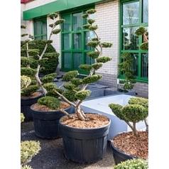 Тисс средний sebian бонсай Диаметр горшка — 70 см Высота растения — 230 см