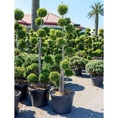 Туя западная «Брабант» multi крона Диаметр горшка — 60 см Высота растения — 250 см