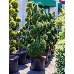 Туя западная «Брабант» спираль Диаметр горшка — 60 см Высота растения — 230 см