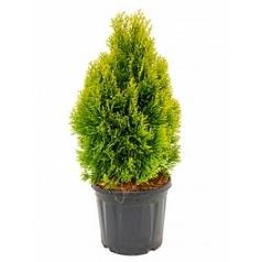 Туя западная golden smaragd куст Диаметр горшка — 26 см Высота растения — 70 см