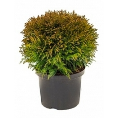 Туя западная danica куст Диаметр горшка — 23 см Высота растения — 40 см