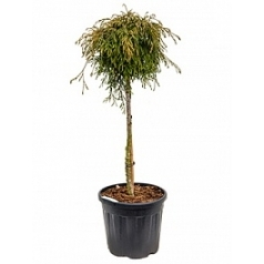 Туя складчатая kaegers beauty стебель boll Диаметр горшка — 33 см Высота растения — 120 см