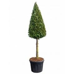 Туя складчатая martin стебель/пирамида Диаметр горшка — 60 см Высота растения — 275 см