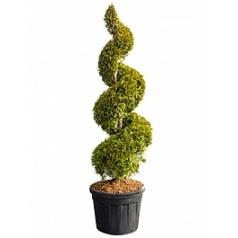Туя западная Еллоу Риббон спираль Диаметр горшка — 60 см Высота растения — 240 см