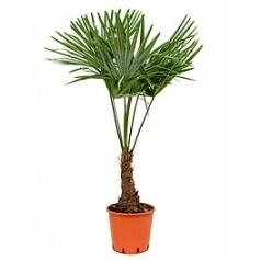 Трахикарпус Форчуна стебель (10-15) Диаметр горшка — 27 см Высота растения — 115 см