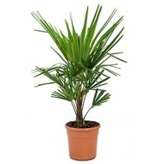 Трахикарпус Форчуна стебель (10) Диаметр горшка — 23 см Высота растения — 90 см