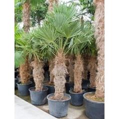 Трахикарпус Форчуна стебель (100-110) Диаметр горшка — 50 см Высота растения — 240 см