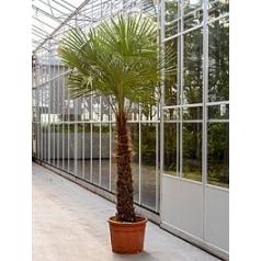 Трахикарпус Форчуна стебель (120) Диаметр горшка — 55 см Высота растения — 275 см