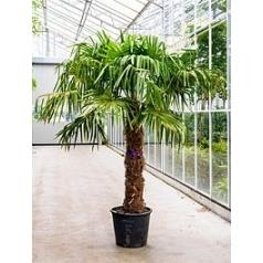 Трахикарпус Форчуна стебель (125-150) Диаметр горшка — 50 см Высота растения — 300 см