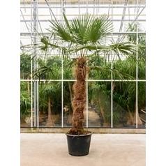 Трахикарпус Форчуна стебель (140) Диаметр горшка — 60 см Высота растения — 340 см