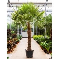 Трахикарпус Форчуна стебель (150-175) Диаметр горшка — 50 см Высота растения — 325 см