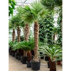 Трахикарпус Форчуна стебель (1500-160) Диаметр горшка — 60 см Высота растения — 320 см