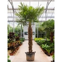 Трахикарпус Форчуна стебель (175-200) Диаметр горшка — 60 см Высота растения — 350 см