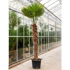 Трахикарпус Форчуна стебель (200) Диаметр горшка — 60 см Высота растения — 375 см