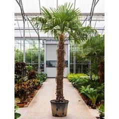 Трахикарпус Форчуна стебель (225-250) Диаметр горшка — 60 см Высота растения — 400 см
