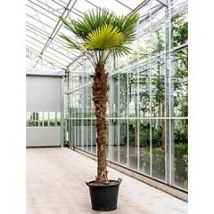 Трахикарпус Форчуна стебель (230) Диаметр горшка — 70 см Высота растения — 375 см