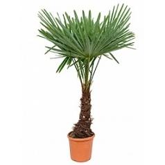 Трахикарпус Форчуна стебель (30) Диаметр горшка — 30 см Высота растения — 150 см