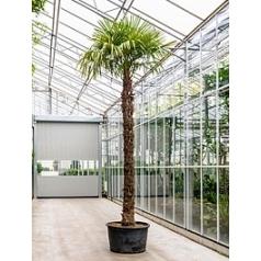 Трахикарпус Форчуна стебель (310-330) Диаметр горшка — 90 см Высота растения — 500 см