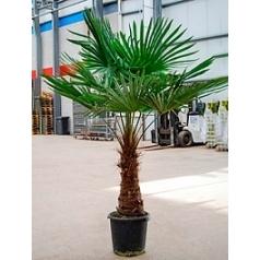 Трахикарпус Форчуна стебель (60-70) Диаметр горшка — 40 см Высота растения — 180 см