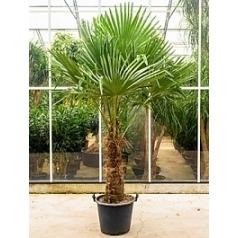 Трахикарпус Форчуна стебель (80-90) Диаметр горшка — 50 см Высота растения — 230 см