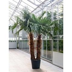 Трахикарпус Форчуна стебель 2pp Диаметр горшка — 65 см Высота растения — 350 см