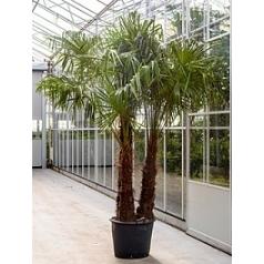 Трахикарпус Форчуна стебель 3pp Диаметр горшка — 65 см Высота растения — 350 см