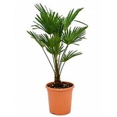 Трахикарпус Форчуна «Вагнерианус» стебель (10-15) Диаметр горшка — 26 см Высота растения — 90 см