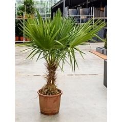 Тритринакс brasiliensis стебель (30-50) Диаметр горшка — 35 см Высота растения — 175 см