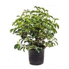 Калина lucidum куст Диаметр горшка — 33 см Высота растения — 90 см