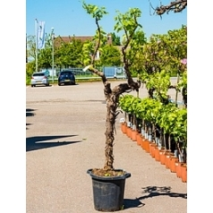 Виноградник культурный (white) стебель (170-200) Диаметр горшка — 35 см Высота растения — 180 см