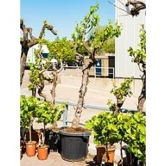 Виноградник культурный (white) стебель (220-240) Диаметр горшка — 55 см Высота растения — 230 см