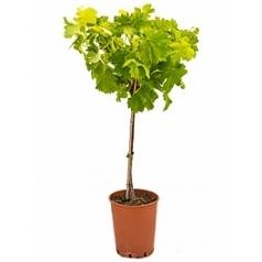 Виноградник культурный стебель babera Диаметр горшка — 19 см Высота растения — 90 см
