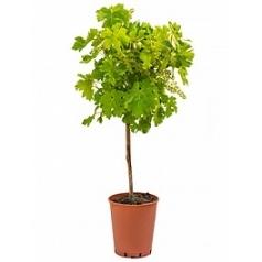 Виноградник культурный стебель cabernet Диаметр горшка — 19 см Высота растения — 90 см