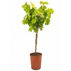 Виноградник культурный стебель chardonnay Диаметр горшка — 19 см Высота растения — 90 см