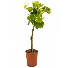 Виноградник культурный стебель merlot Диаметр горшка — 19 см Высота растения — 90 см