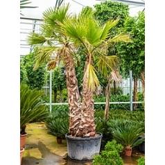 Вашингтония крепкая 2 стебель Диаметр горшка — 80 см Высота растения — 400 см