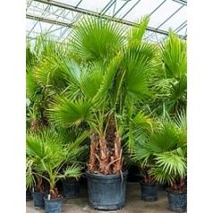 Вашингтония крепкая multi стебель Диаметр горшка — 65 см Высота растения — 275 см