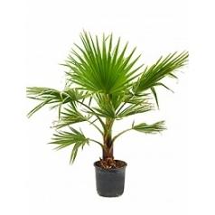Вашингтония крепкая стебель (10-20) Диаметр горшка — 30 см Высота растения — 110 см