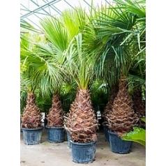 Вашингтония крепкая стебель (100-120) Диаметр горшка — 55 см Высота растения — 275 см