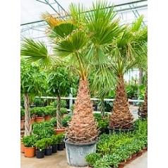 Вашингтония крепкая стебель (100-120) Диаметр горшка — 55 см Высота растения — 350 см