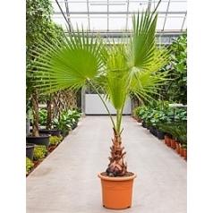Вашингтония крепкая стебель (40) Диаметр горшка — 40 см Высота растения — 180 см