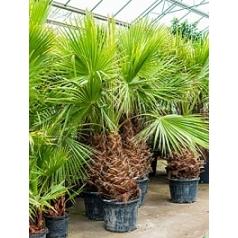 Вашингтония крепкая стебель (80-100) Диаметр горшка — 55 см Высота растения — 250 см